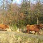Schotse-Hooglander-Leenderbos03-150x150